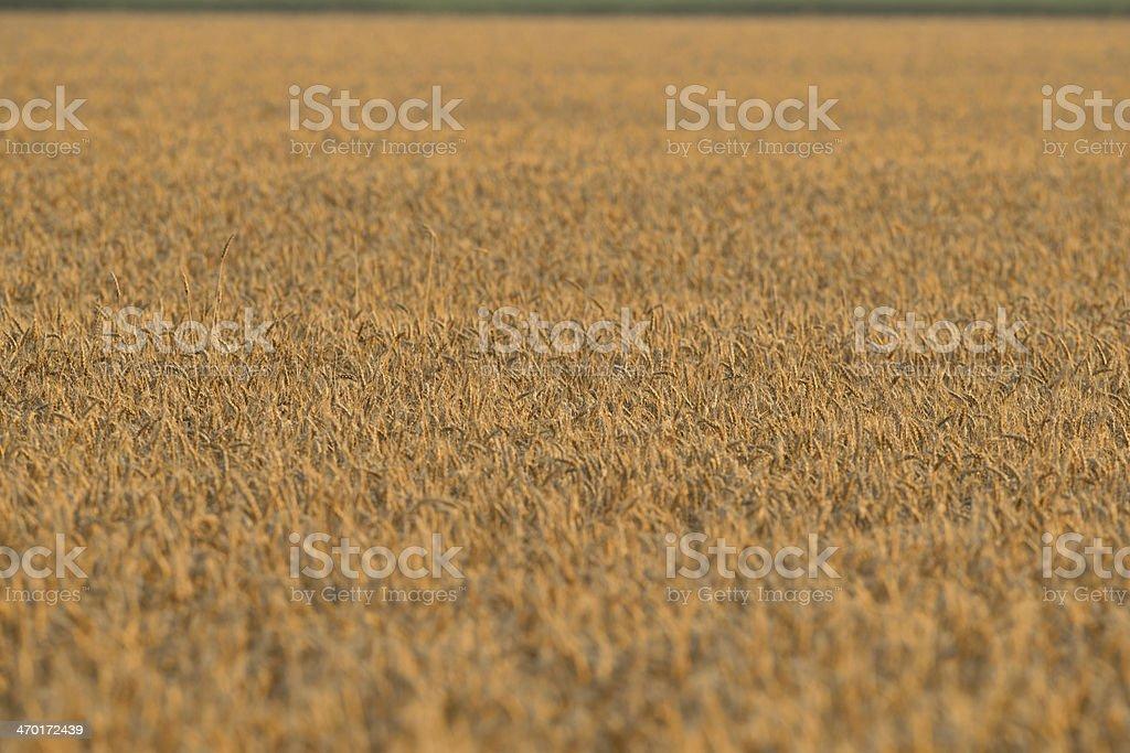 Golden Wheat Field - Full Frame stock photo
