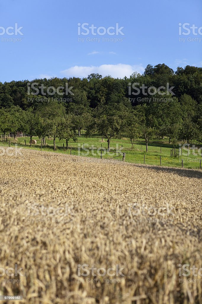 golden wheat field green grass trees blue sky white cloud royalty-free stock photo