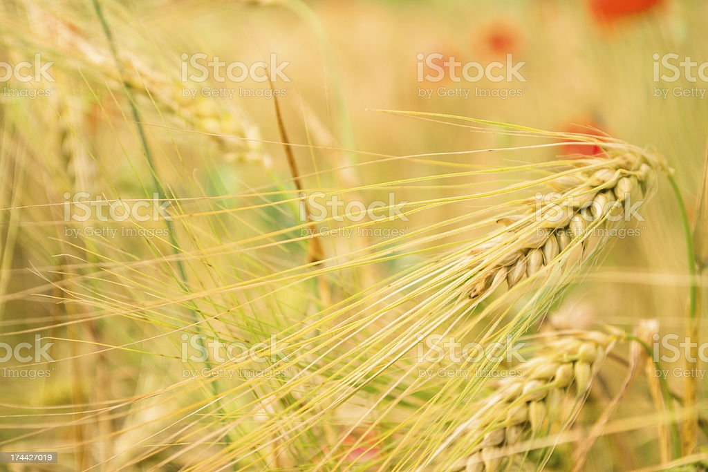 Golden wheat field in grunge royalty-free stock photo