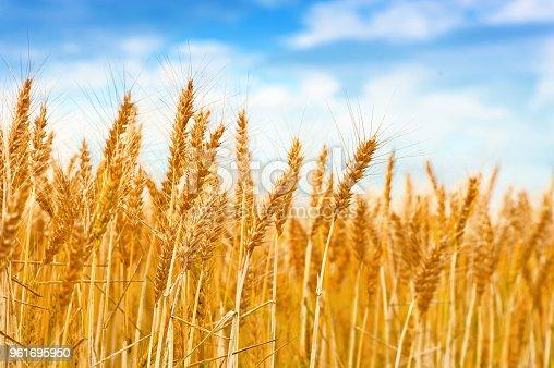 Golden wheat field in the blue sky