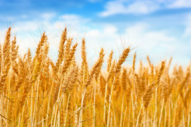 Golden wheat field in the blue sky Golden wheat field in the blue sky wheat stock pictures, royalty-free photos & images