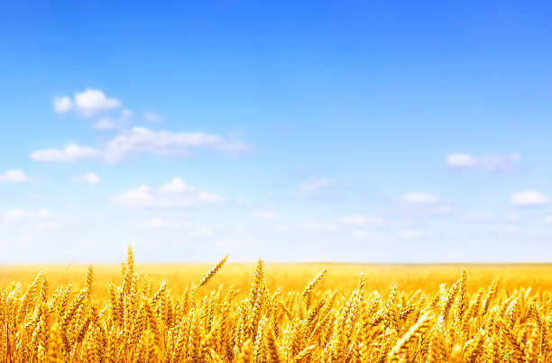 golden wheat field on sunny day - agricultural field stock photos and pictures