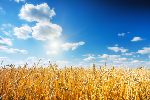 Golden wheat field over blue sky at sunny day.