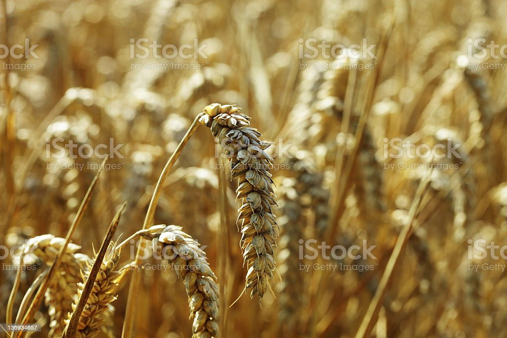 Golden Wheat Field royalty-free stock photo