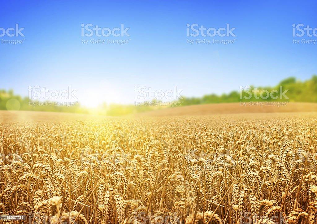 Golden Wheat Field – Foto