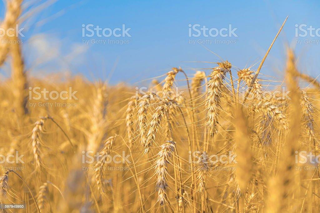 Campo de trigo de ouro  foto royalty-free