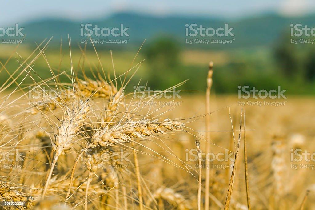 Champ de blé doré  photo libre de droits