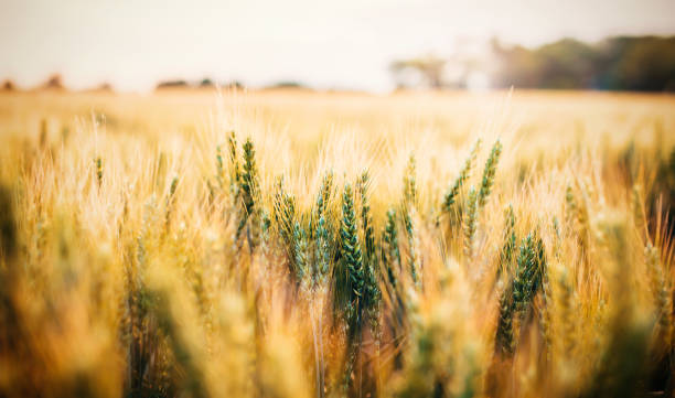 golden wheat field - organic farm stock photos and pictures