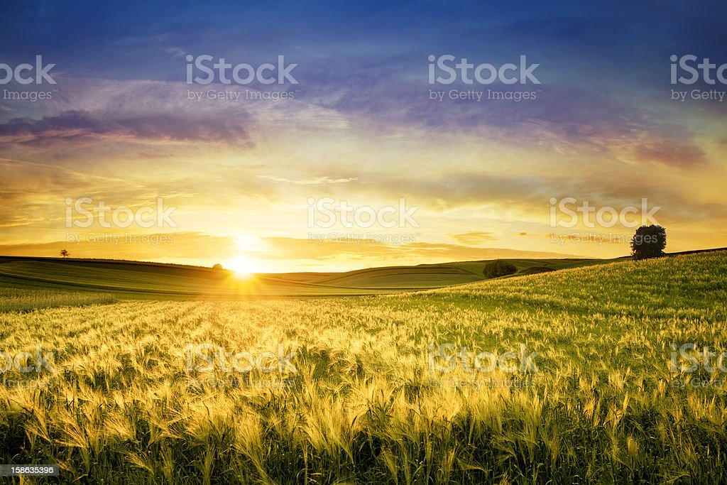 Golden Wheat Field - Sunset Landscape - Royalty-free Agricultural Field Stock Photo