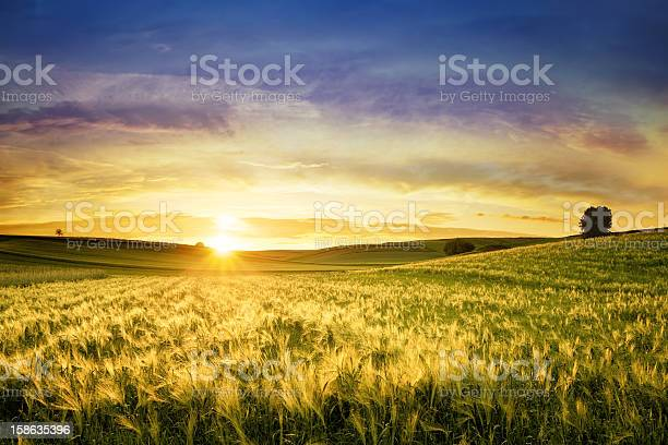 Golden Wheat Field Sunset Landscape Stock Photo - Download Image Now