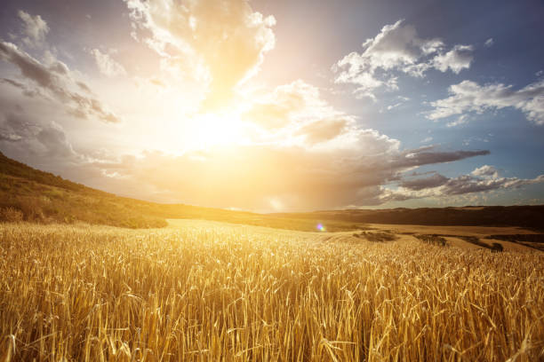 golden wheat field under beautiful sunset sky - soleggiato foto e immagini stock