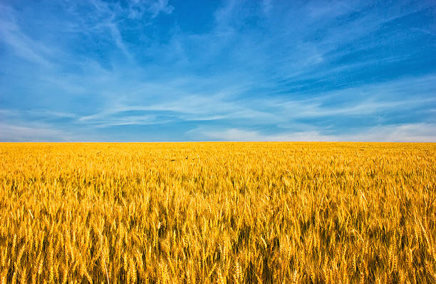 golden wheat field with blue sky in background - ukrayna stok fotoğraflar ve resimler