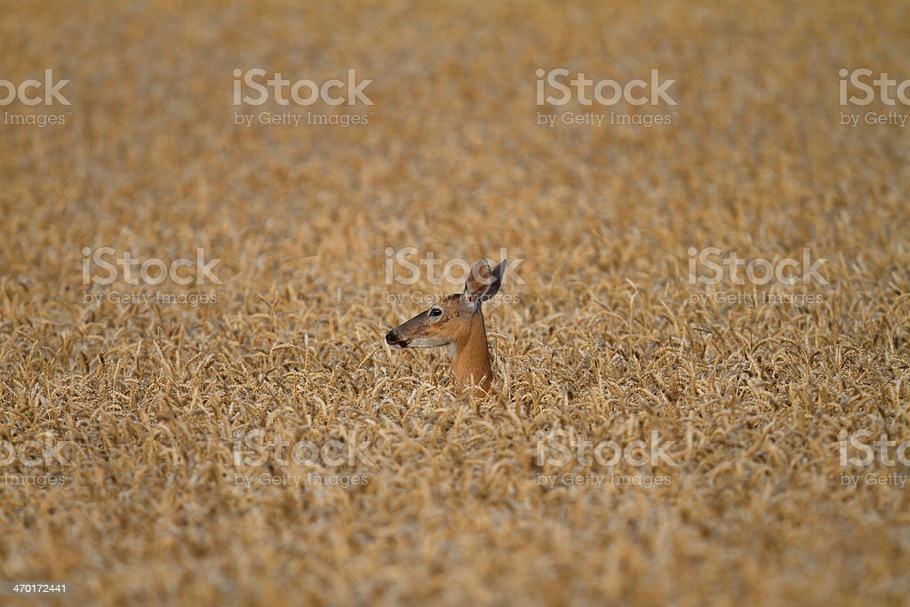Golden wheat field with deer - full frame stock photo