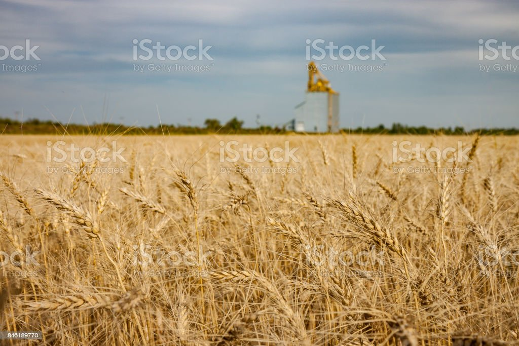 Golden Wheat Field With Grain Elevator in Distance stock photo