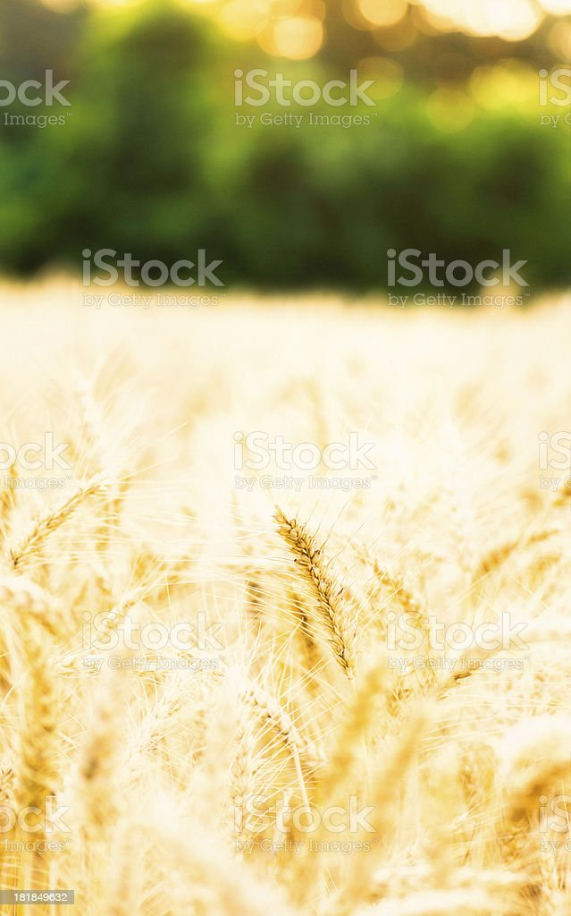 Golden Wheat Field with Natural Bokeh royalty-free stock photo