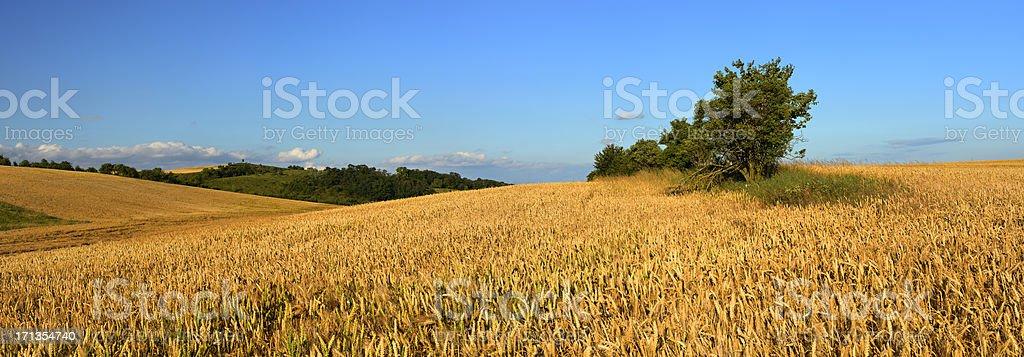 Golden Wheat Fields in Warm Evening Light royalty-free stock photo