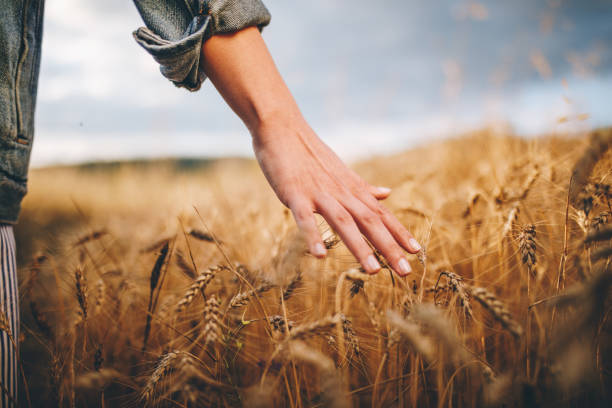 złote pola pszenicy - zbierać plony zdjęcia i obrazy z banku zdjęć