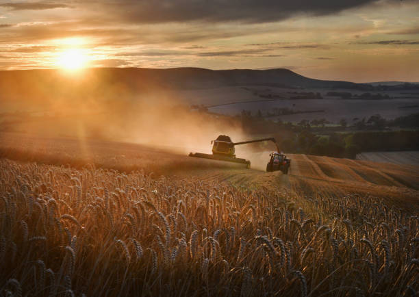 Golden Wheat harvest Wheat being harvested on the South Downs at sunset, England, UK ear of wheat stock pictures, royalty-free photos & images