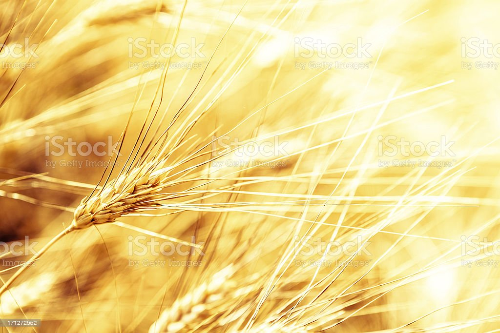 Golden Wheat in a Tuscan Field, Closeup royalty-free stock photo