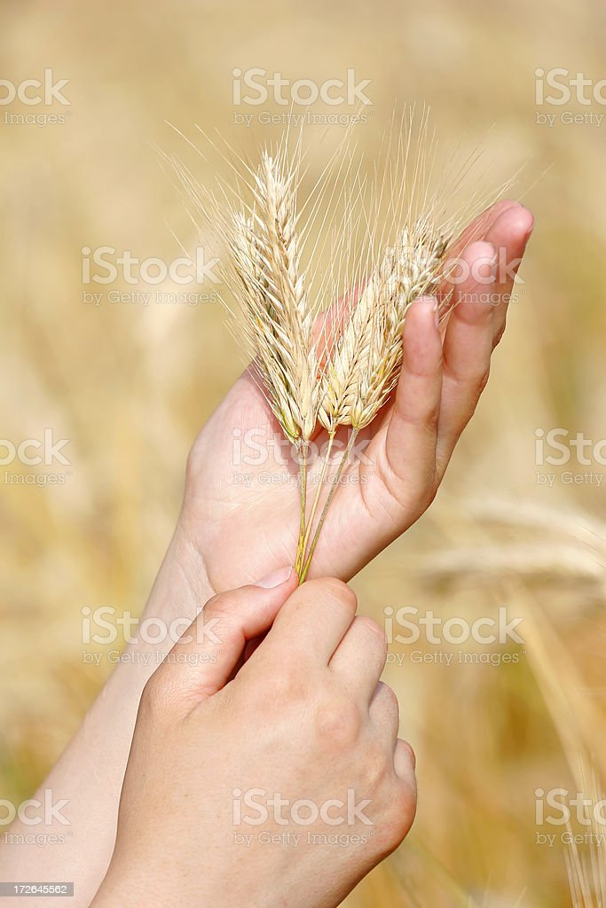 Golden wheat in hands royalty-free stock photo