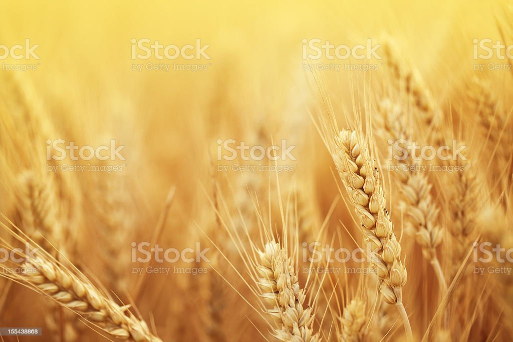 Golden wheat in harvest season on farm stock photo