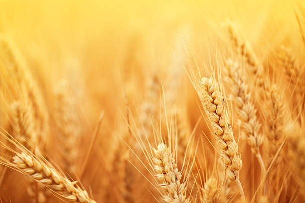 Golden wheat in harvest season on farm  ear of wheat stock pictures, royalty-free photos & images