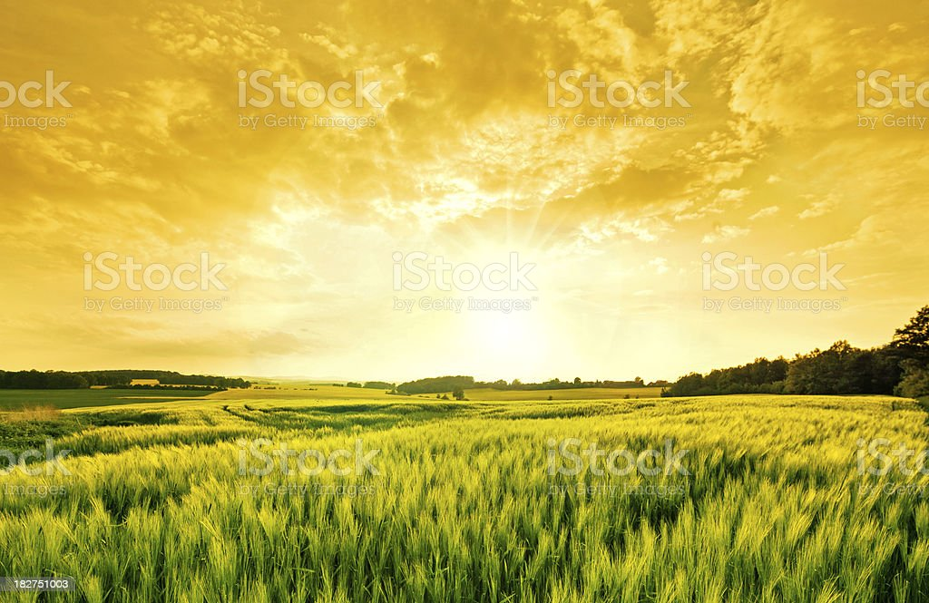 golden wheat landscape stock photo