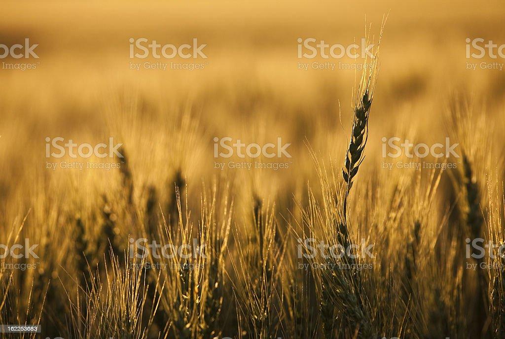Golden Wheat royalty-free stock photo