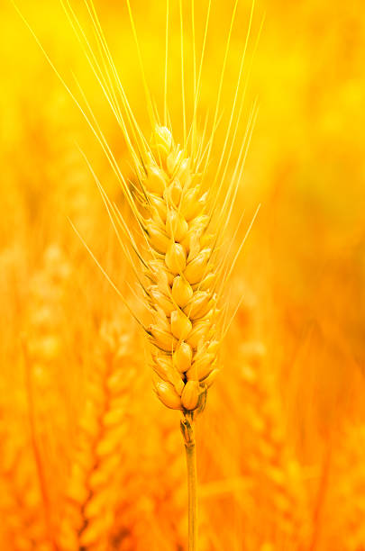Golden wheat stock photo