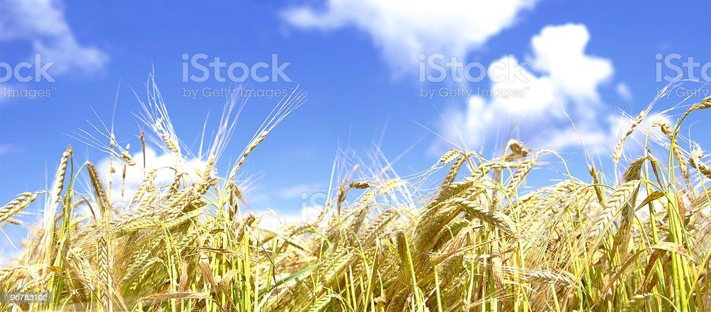 golden wheat – Foto