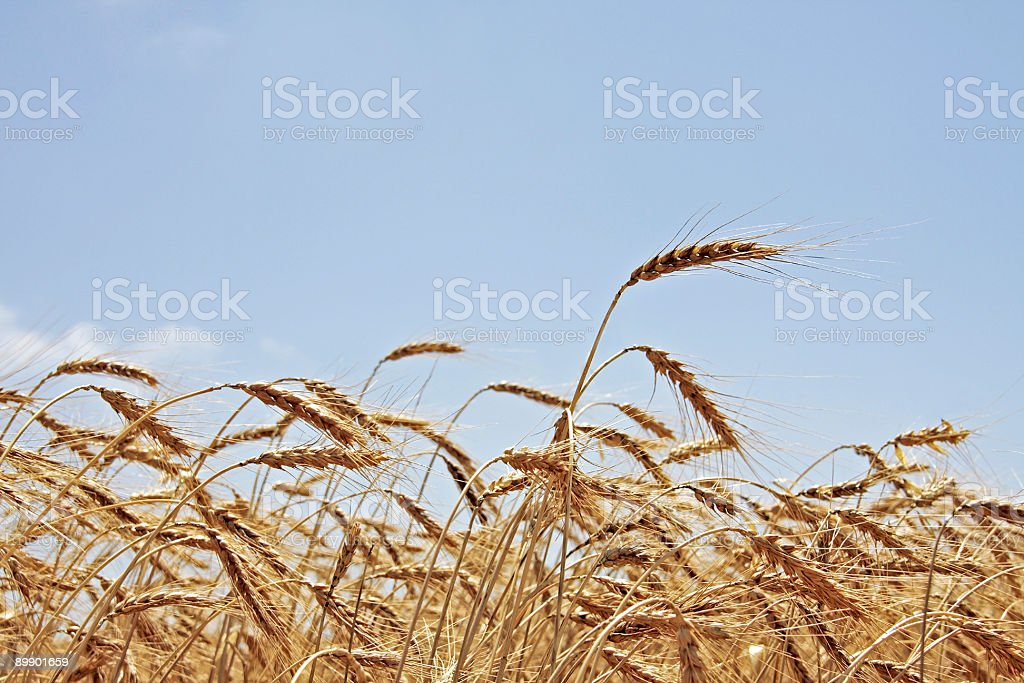 Golden wheat ready for harvest royalty-free stock photo