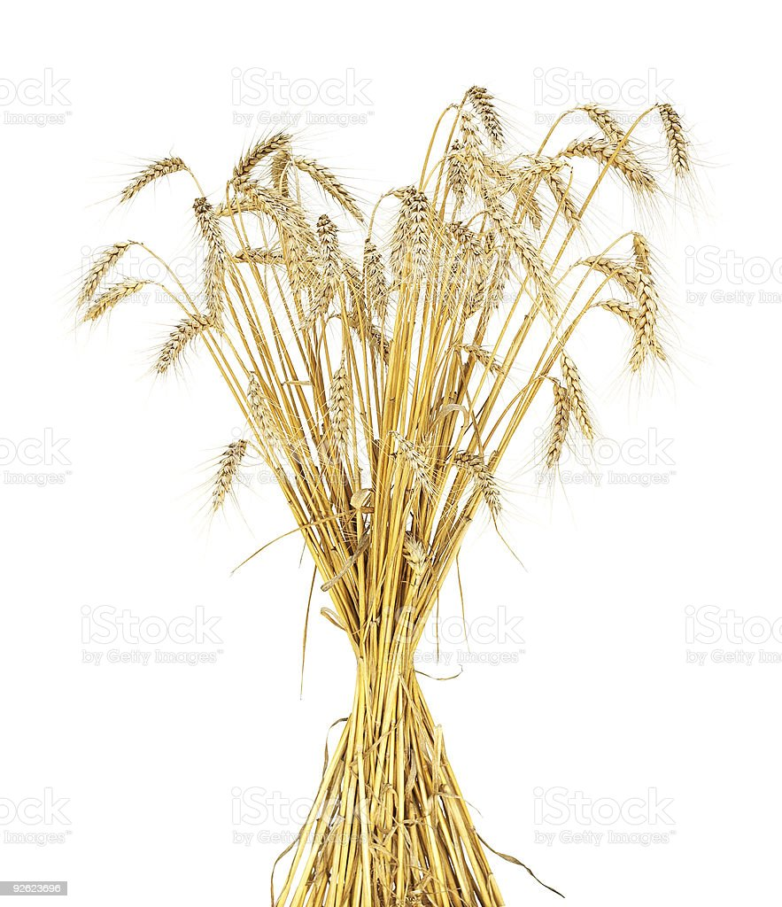 golden wheat sheaf royalty-free stock photo