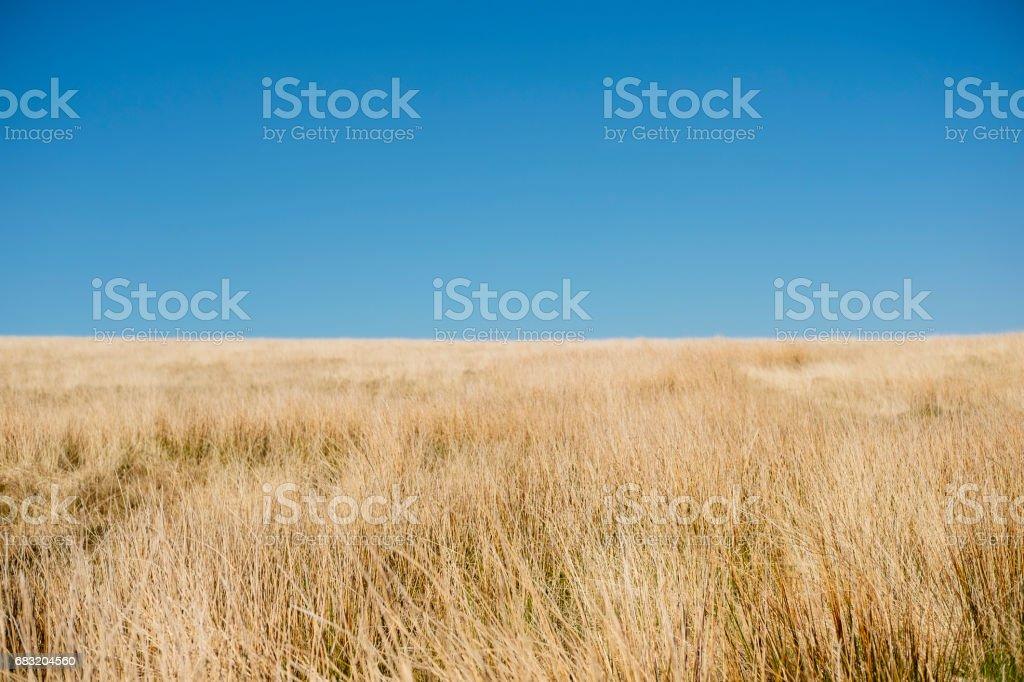 藍色的天空,高沼地蘭開夏郡金野生草 免版稅 stock photo