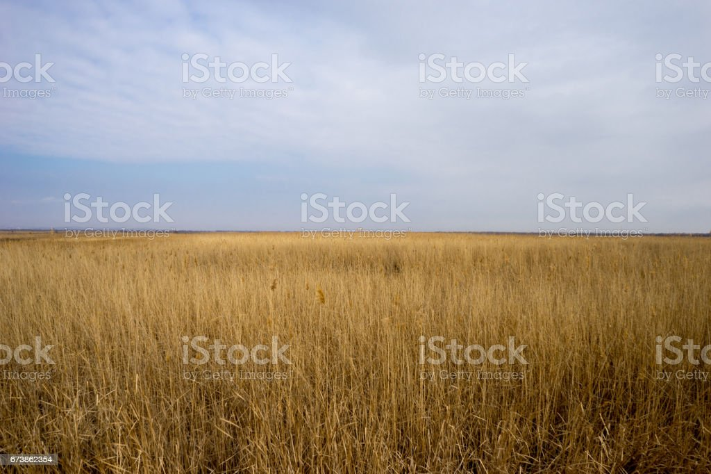Golden wild wheat field with blue sky background royalty-free stock photo