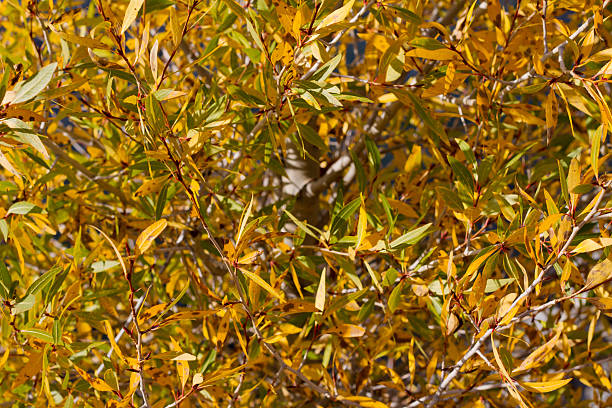 Golden Willows stock photo