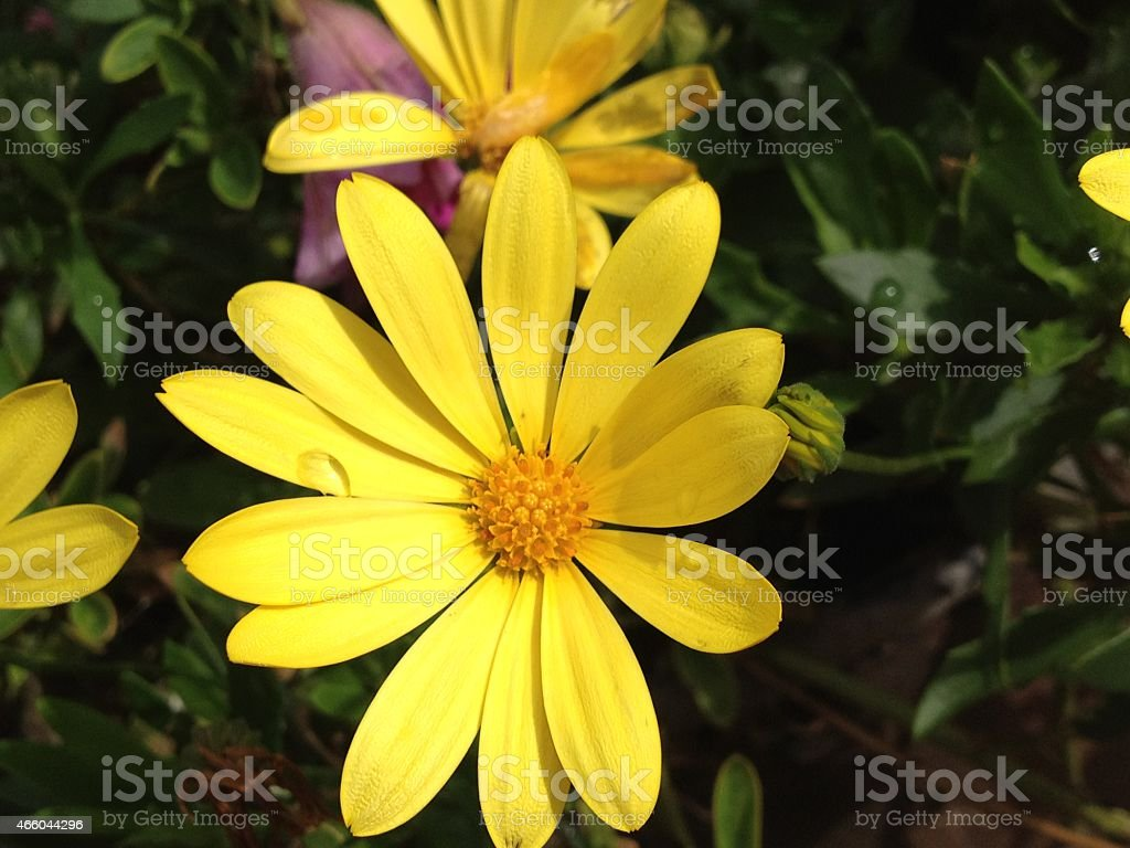 Golden yellow aster with water drops stock photo