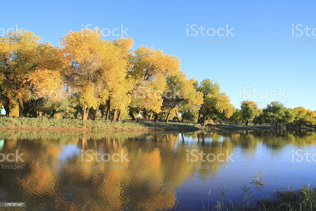 Golden yellow autumn populus trees royalty-free stock photo