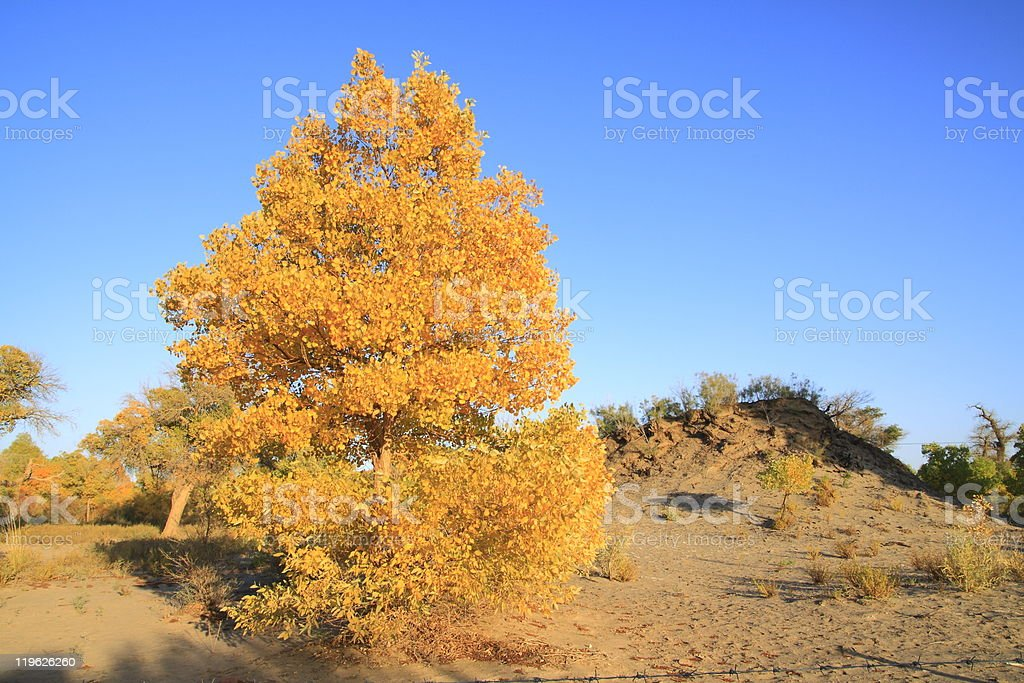 Golden yellow Fall poplar trees stock photo