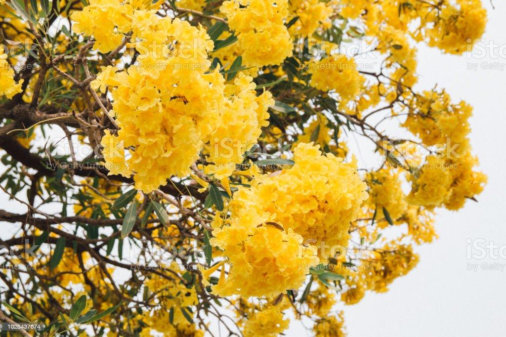 Fleur Jaune Dore Fleur Arbre Fleur Printemps Photos Et Plus D