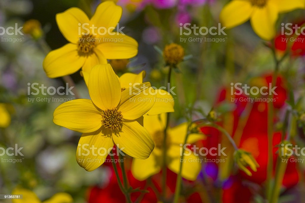 Golden Yellow Flowers royalty-free stock photo