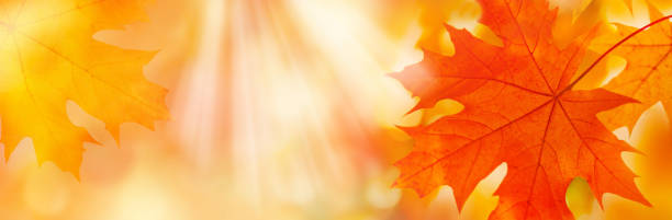 Golden yellow orange red maple leaves close-up on the blurred background. Sunlight Golden yellow orange red maple leaves close-up on the blurred background. Sunlight. Bright autumn foliage background. Fall panoramic backdrop. Copy space fall background stock pictures, royalty-free photos & images