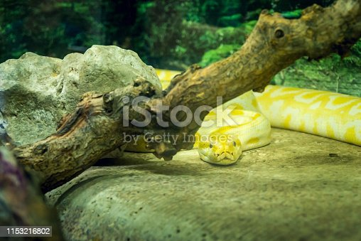 White yellow snake in terrarium in zoo. Golden yellow Python in zoo
