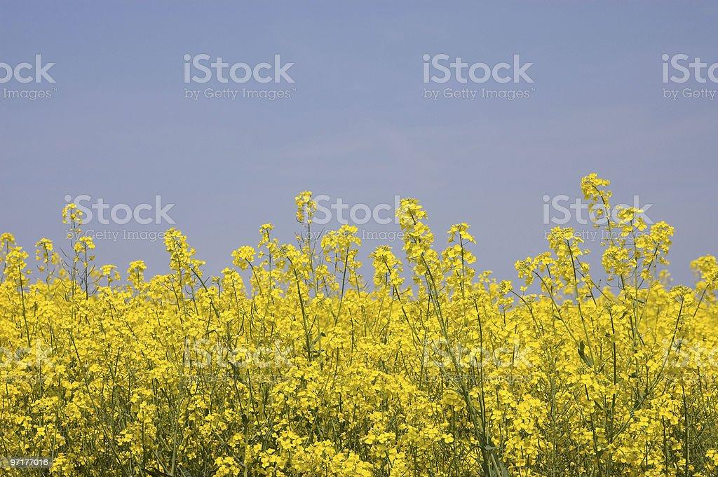 Golden Yellow Rapeseed stock photo
