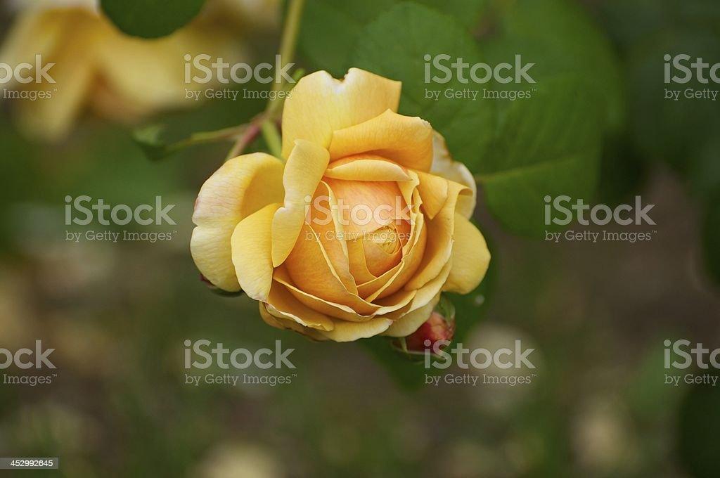 Golden Yellow Rose royalty-free stock photo