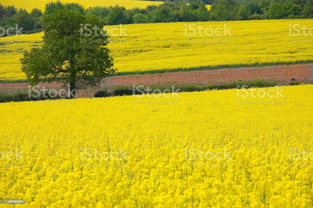 Golden Yellow Rural Landscape stock photo