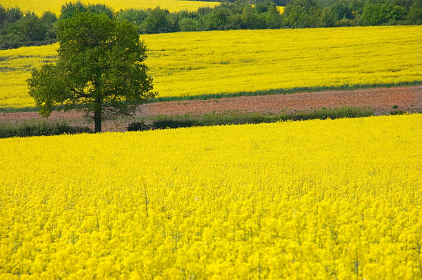 Golden Yellow Rural Landscape stock photo