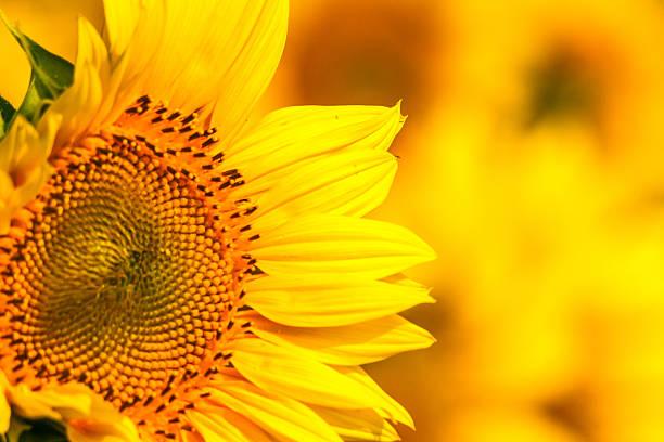 Golden yellow sunflower close up stock photo