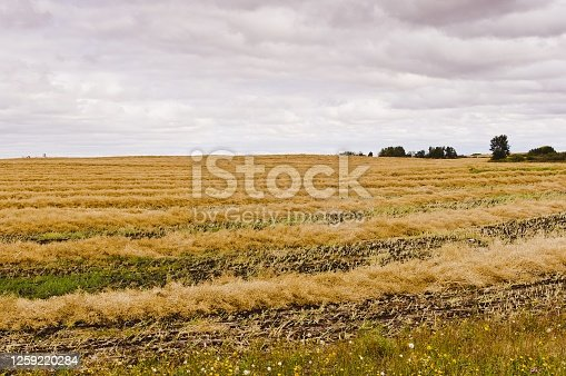 Golden yellow windrows of canola drying on a field  after swathing in Saskatchewan, Canada.