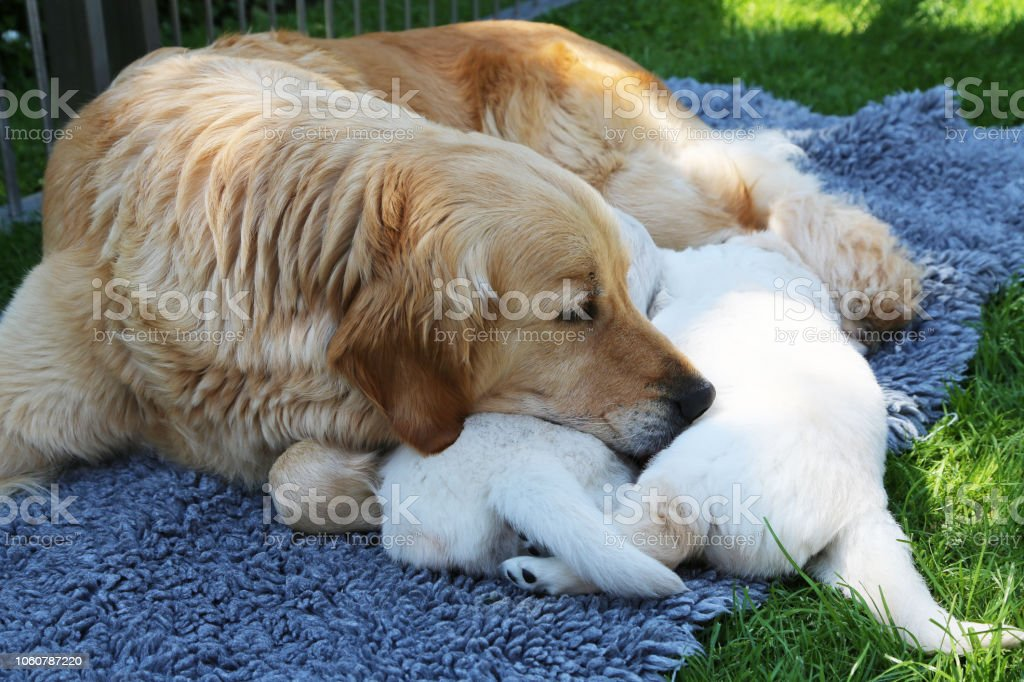 Golden_Retriever stock photo