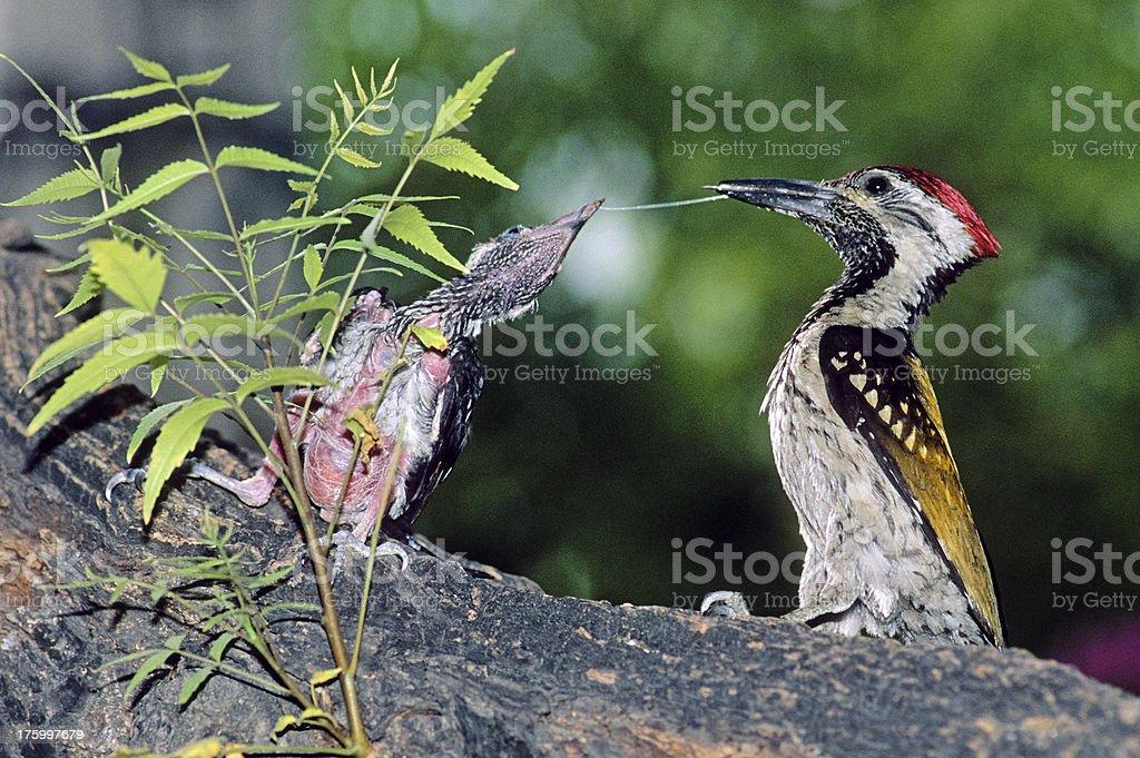 Goldenbacked Woodpecker stock photo